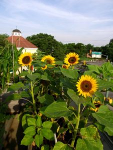 corner market dallas rooftop garden sunflowers
